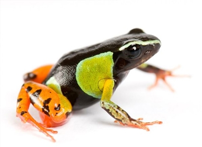 why-madagascar-poison-frogs-taste-bittersweet_48216_big.jpg